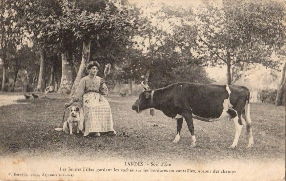 Pie noire, une petite vache du terroir breton